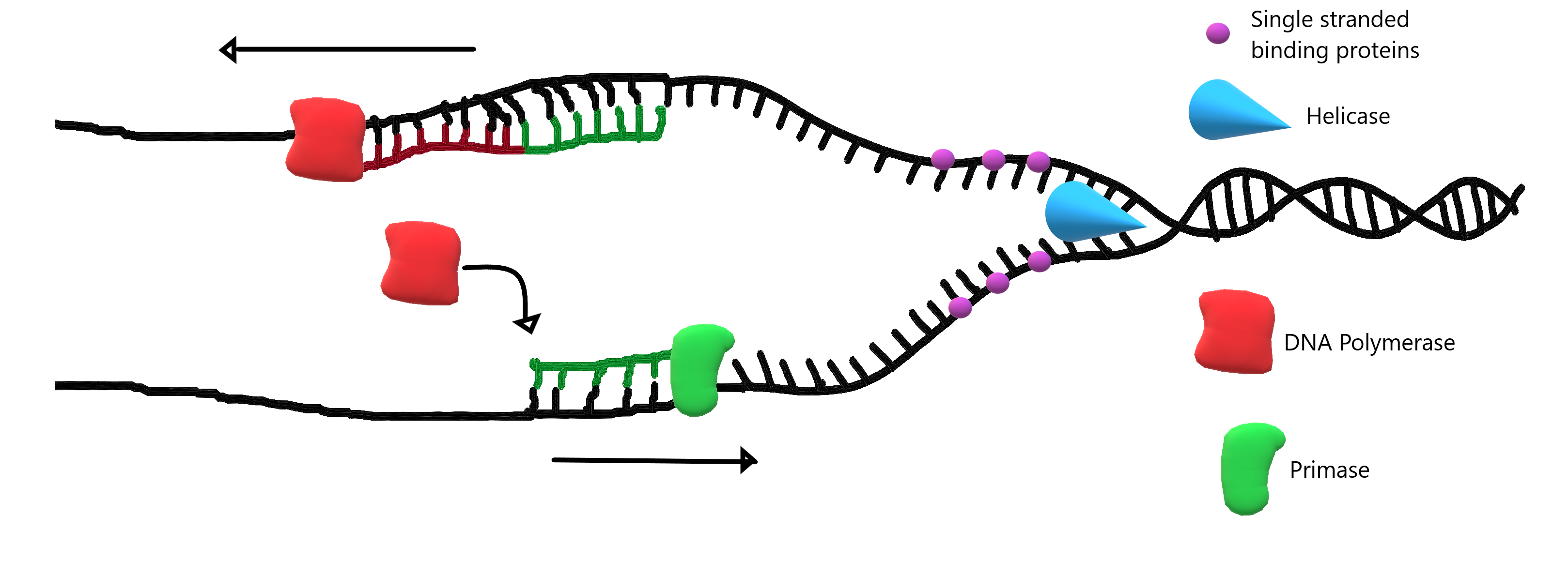Image shows a diagram of DNA replication. Helicase is separating the two strands of DNA, single stranded binding proteins are holding open the strand of DNA. Primase is laying down primer sequences to cue DNA polymerase where to begin synthesizing the new strand of DNA