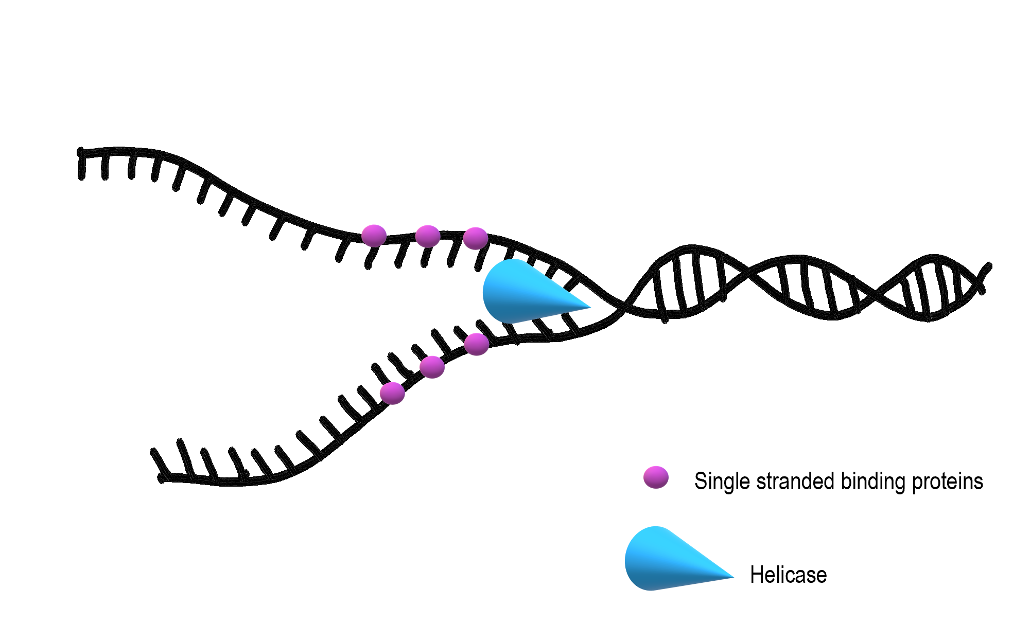 Image shows a diagram of helicase unwinding and unzipping a double stranded section of DNA. Single stranded binding proteins bind to the newly separated strands to prevent them from re-forming the hydrogen bonds.